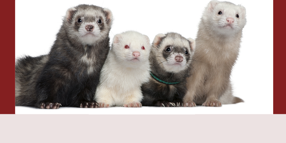 4 ferrets looking for tosy