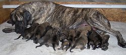american mastiff puppies for sale