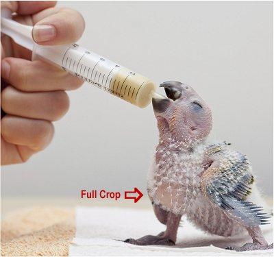 Instructions For Hand-Feeding Baby Birds